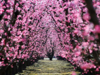 Pink Orchard